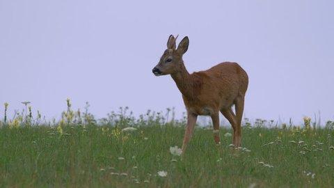 Male roe deer (Capreolus capreolus) in meadow