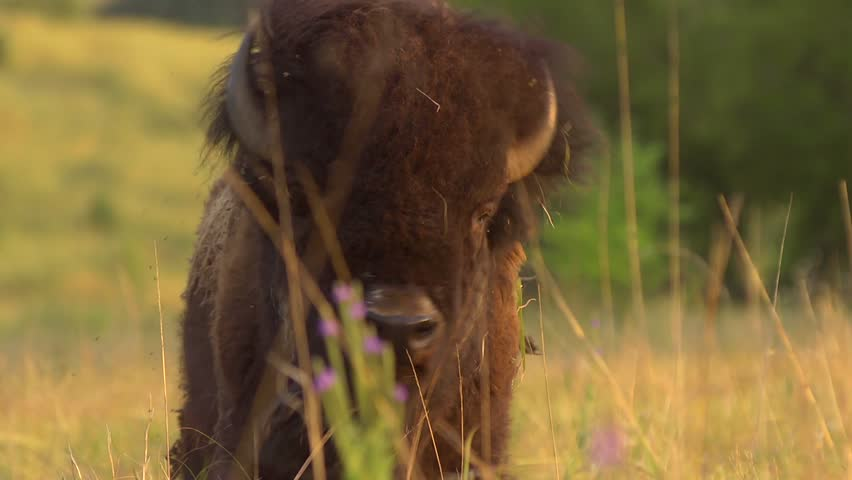 Buffalo Grazing - Slow Motion - A buffalo shakes his head and continues to graze. Slow motion.