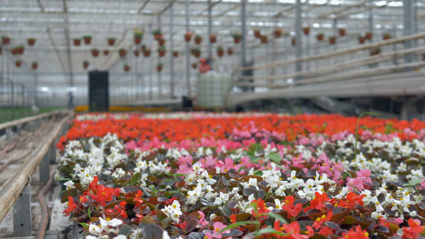 A focused view on rows of begonias and many other flowers blurred out. 4K. | Shutterstock HD Video #30076231
