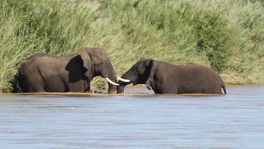 Two African elephants facing each other in the river
