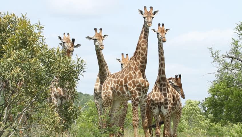 A herd of giraffe close together