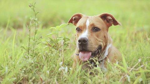 American pitbull terrier in beautiful grass garden.