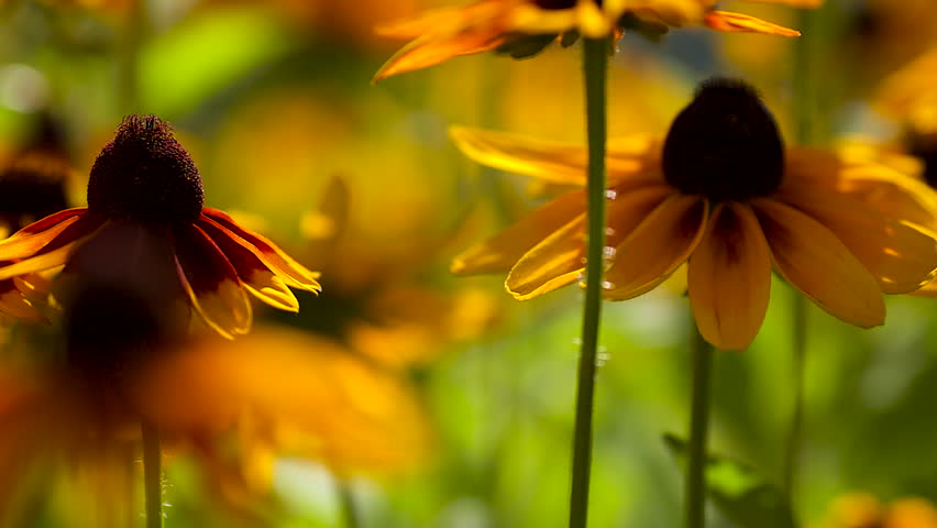 Flowering rudbeckia flowers and flying bees on a sunny summer day