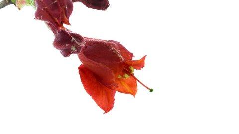 Timelapse of Red Azalea flower blooming on white background