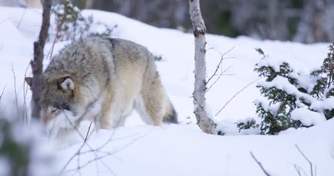 Lone wolf patrolling pack territory