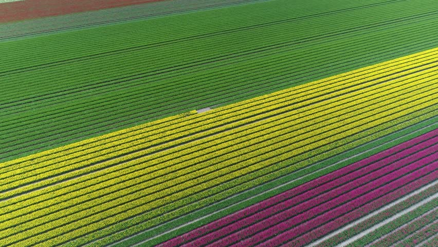 Aerial above colorful tulip field showing pink yellow white and green colored flowers planted in straight rows bright colors and also showing cloud shadows moving over the flower field 4k high quality