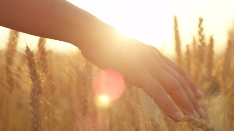 SLOW MOTION CLOSE UP LENS FLARE Female hand touching beautiful wheat at gorgeous golden light morning. Woman caressing crops growing on organic farm in Tuscany, Italy. Plants swaying at dreamy sunrise