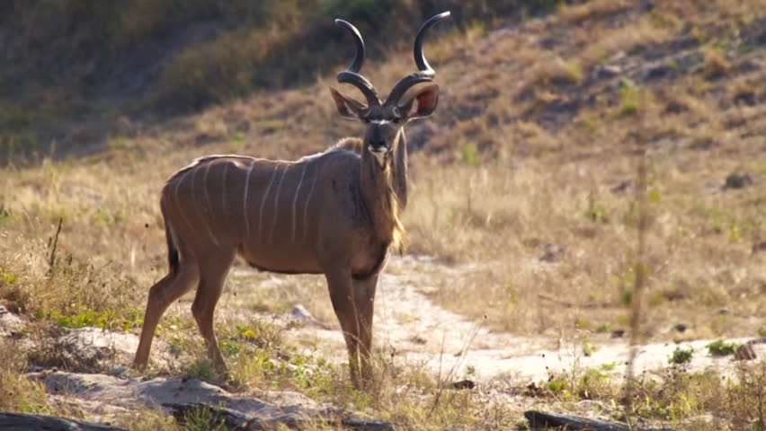 A Kudu stands in the Moremi Game Reserve in Botswana, Africa