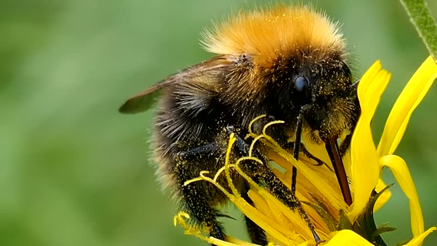 Glutton Bumblebee eats the pollen of a flower.  Bee digs proboscis into nectar - macro. Shaggy insect Bombus preparing for winter. Ecology of nature close. | Shutterstock HD Video #30271711