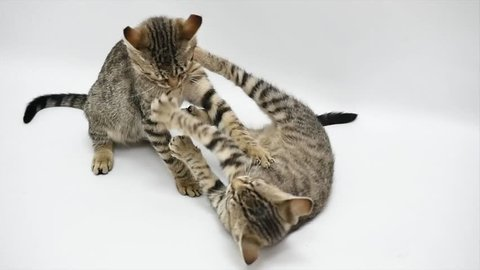 Two cats play with each other on white background, slow motion.