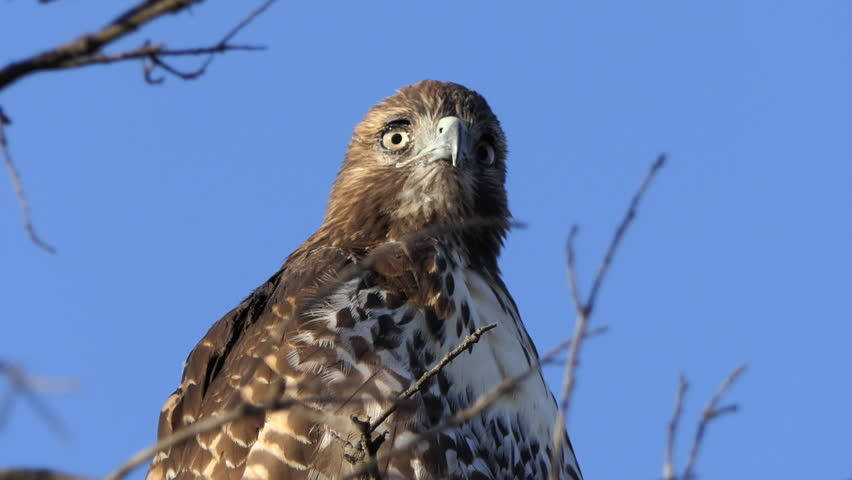 Close up with zoom of Red-tailed hawk in Oak Tree.  Shot at Rocky Peak Park in Ventura County, California.