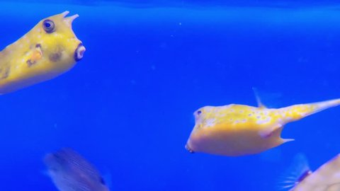 Longhorn cowfish, Lactoria cornuta, also called horned boxfish, is variety of boxfish from family Ostraciidae, recognizable by its long horns that protrude from front of its head, those of cow or bull