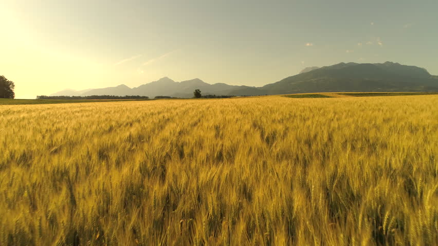AERIAL Flying above stunning yellow wheat field swaying in the wind on country farmland. Crop plants swinging in summer breeze on sunny morning. Rocky mountains in scenic countryside, Slovenia, Europe #30394621