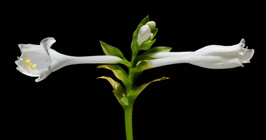 Header of Asparagales