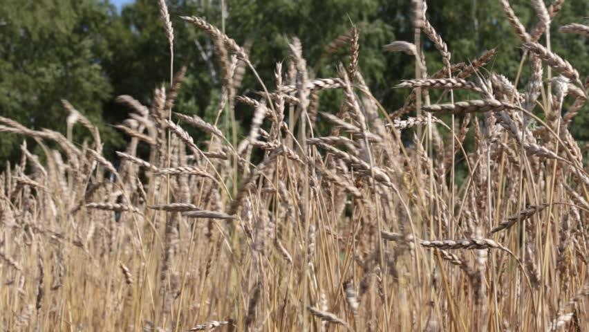 Ripe wheat. Siberian harvest in Russia.