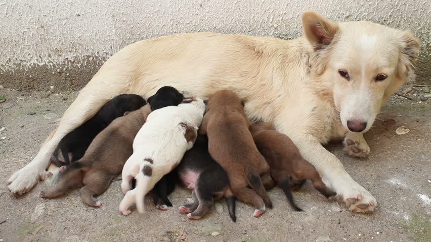 Stock Video Clip Of Stray Dog Feeding Puppies With Milk -2408