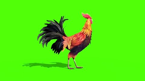 Rooster Plumage Eats Side Green Screen 3D Rendering Animation