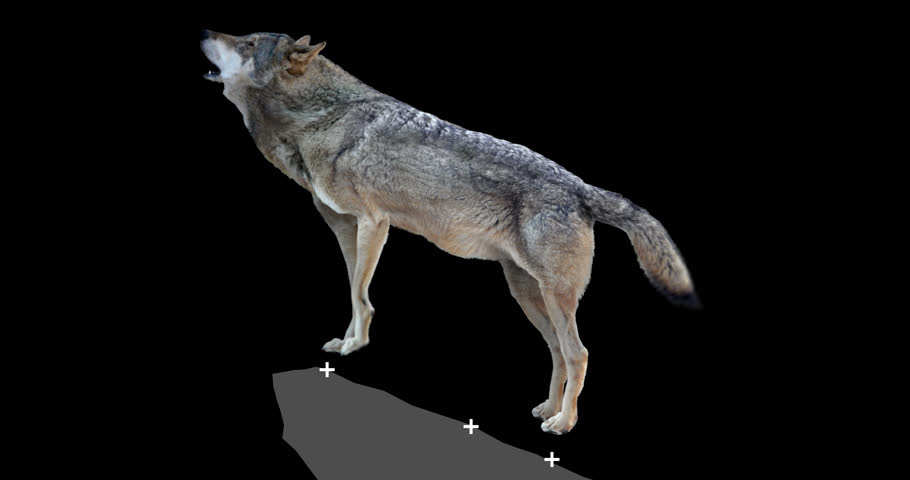 Gray wolf howling. An isolated wolf rises to a rock and howls. Animation includes an alpha channel. Version panoramic camera.