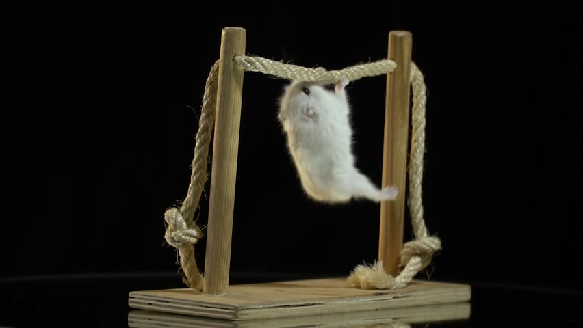 A White Hamster With Black Eyes Pulls Up On Horizontal Bar That Spins