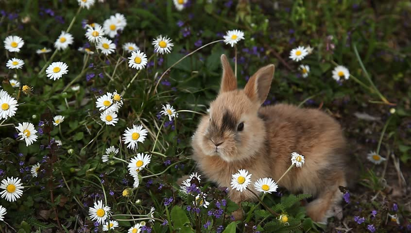 Cute little rabbit bunny is eating  daisy flower