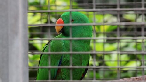MS SELECTIVE FOCUS Eclectus parrot (Eclectus roratus) in cage / Tenerife, Canary Islands, Spain