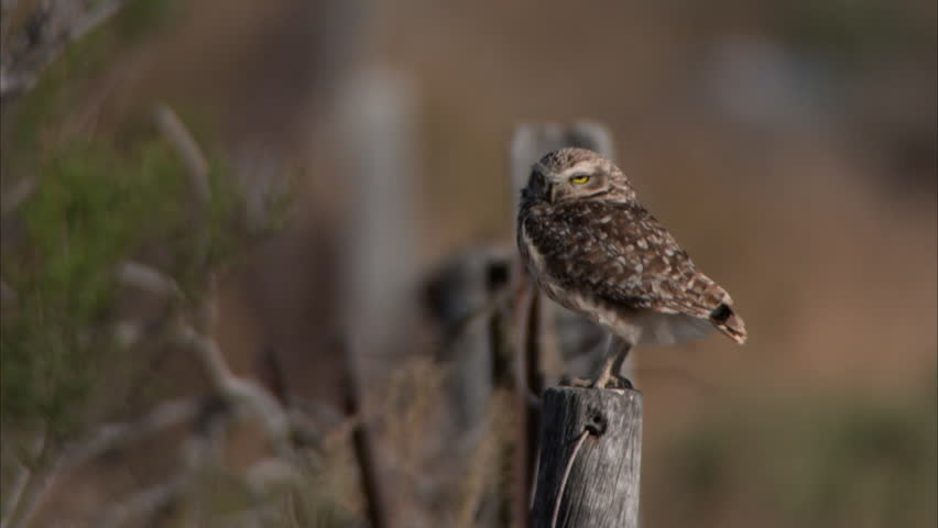 WS Spotted eagle-owl (Bubo africanus) perching on wooden pole / Buenos Aires, Buenos Aires, Argentina