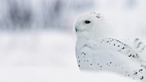 MS TU SELECTIVE FOCUS Snowy Owl (Bubo scandiacus) sitting in snow