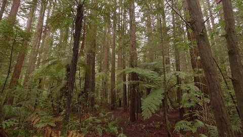 NEW ZEALAND - ROTORUA - SEPTEMBER 2017 - A forest of giant redwoods just outside the North Island town of Rotorua.