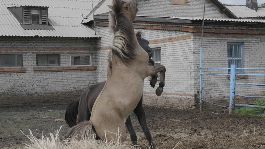 Two horses play and stand on their hind legs
