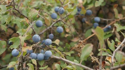 Blue berries of Prunus spinosa fruit close-up 4K 2160p 30fps UltraHD footage - Field shrub of blackthorn sloe food 3840X2160 UHD video