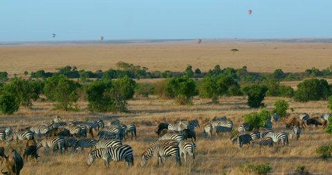 Burchell'S Zebras Grazing & Balloon Safari; Maasai Mara Kenya Africa
