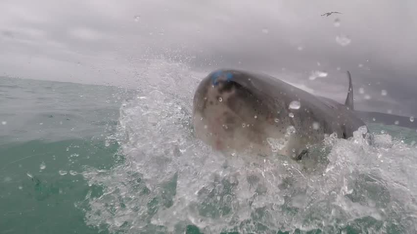 Great white shark breaches the water very close to camera. Mouth wide open.