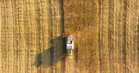 Aerial top view: combine harvester in sunlight. Flying directly above harvester. Harvester harvesting wheat on the golden field at sunset. Beautiful agriculture scene with agricultural machinery.