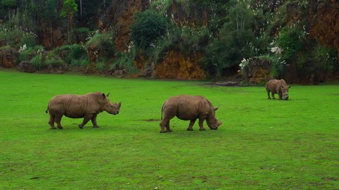 A group of White Rhinos in Cabarceno Natural Park, Pisuena Valley, Municipality of Penagos, Cantabria, Spain, Europe