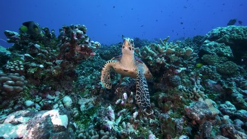 Curious hawksbill turtle feeding on a coral reef
