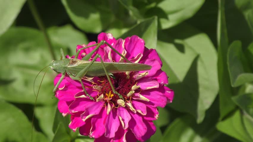 Katydid on flower summer day