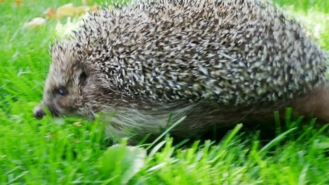 Hedgehog in Green Grass Goes or Crawls. Happy Cute Hand Pet Hedgehog on Sunny Day