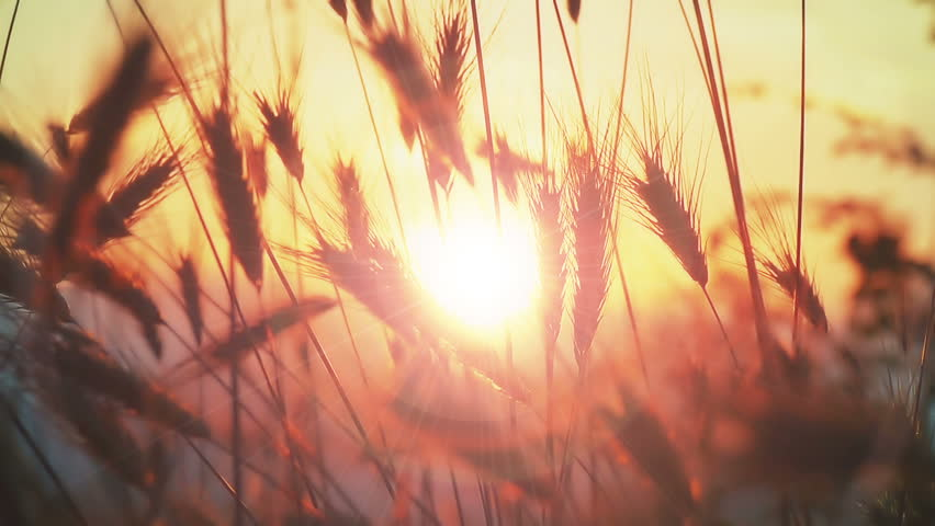 Sunset grass slow motion | Shutterstock HD Video #30855331