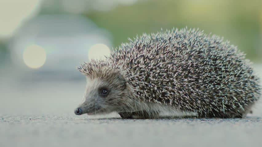 Image of: Cow Danger To Wild Animals Little Hedgehog On The Road In The Background Car Is Passing By Shutterstock Danger To Wild Animals Little Stock Footage Video 100 Royalty