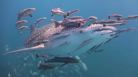 The whale shark, surrounded by fish, floats alongside the operator. in the background people are seen on the surface Sail Rock/Gulf of Siam/Thailand