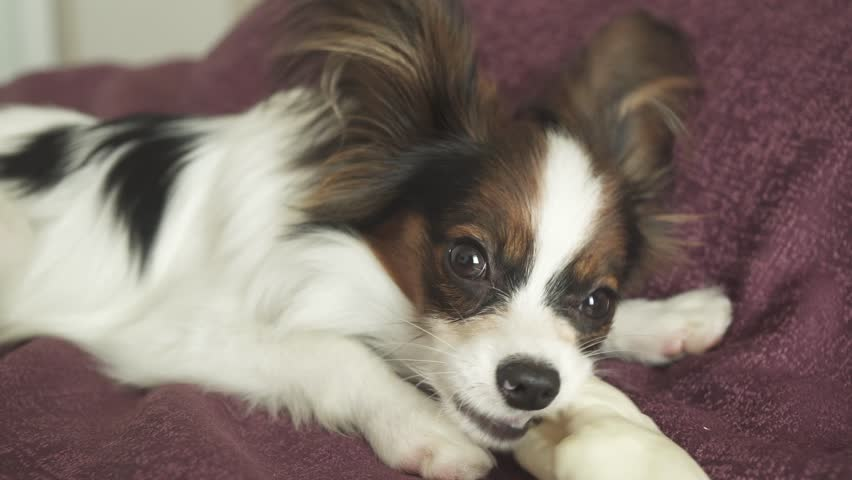 Simple Papillon Canine Adorable Dog - 1  Photograph_358568  .resize(height:160)