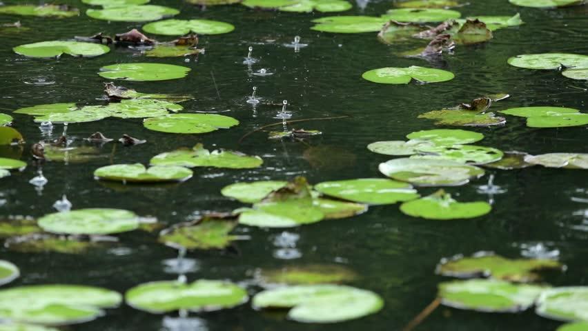 Raining of lotus pond in slow motion