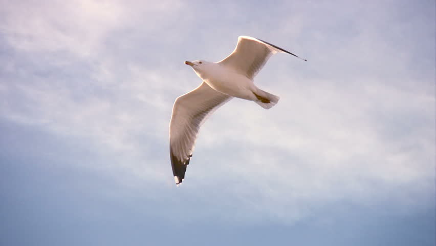 Header of seagull
