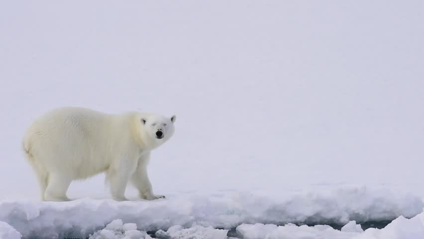 polar bear walking on the ice hd stock footage clip