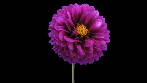 Time-lapse of dying purple dahlia flower 4x1 in PNG+ format isolated on black background
