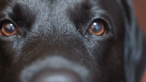close-up of a black labrador retriever dog. devoted brown eyes of a pet. smooth, well-groomed coat on the muzzle face
