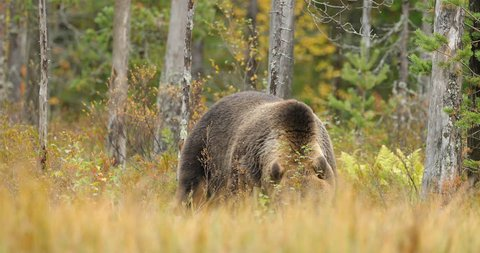 Bear hidden in yellow forest. Autumn trees with bear. Beautiful brown bear walking around lake with fall colours. Dangerous animal in nature wood, meadow habitat. Wildlife habitat from Finland.