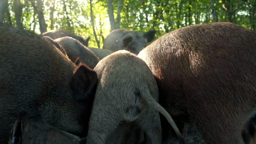 Pigs eating food from feed trough back view. Close up feeding pigs at animal farm. Breeding domestic animal in livestock. Pig farming in village. Pig tails close up | Shutterstock HD Video #31033411