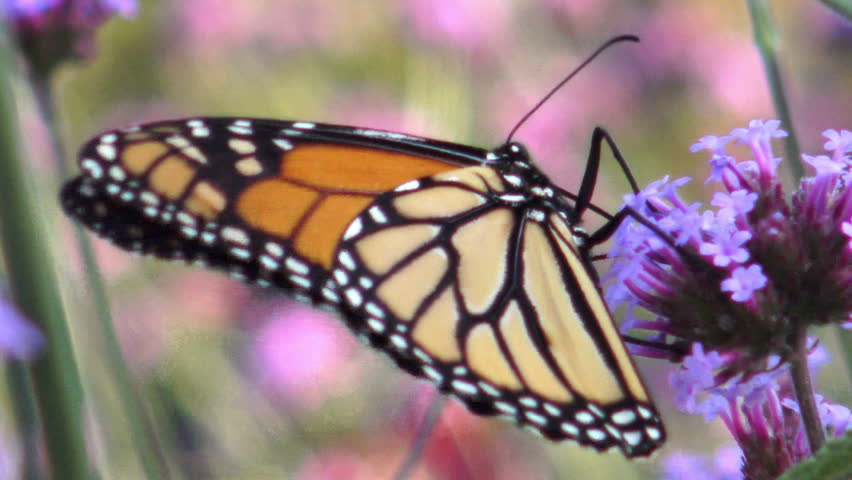 Monarch butterfly drinking nectar from a lavender colored Allium flower in the garden late summer  | Shutterstock HD Video #31043251