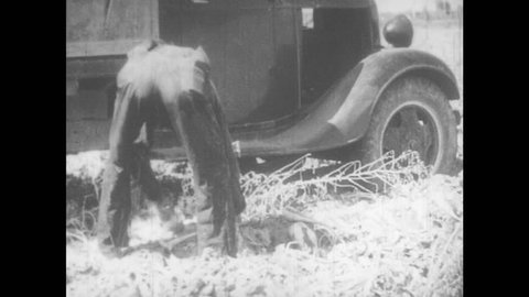 1930s: Croppers throws sugar beets on truck. Cropper holds beet in hands, looks at it, throws it onto truck. Truck full with beets drives off field. Field with ditches. Text \x93The End\x94 appears.